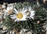 Easter Daisy, Townsendia hookeri