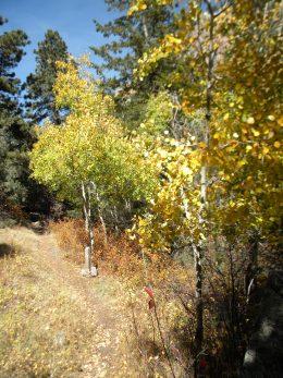 Aspen on Crellin Trail